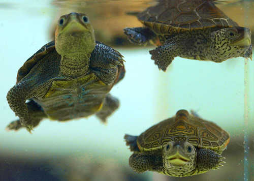 Happy swimming terrapins